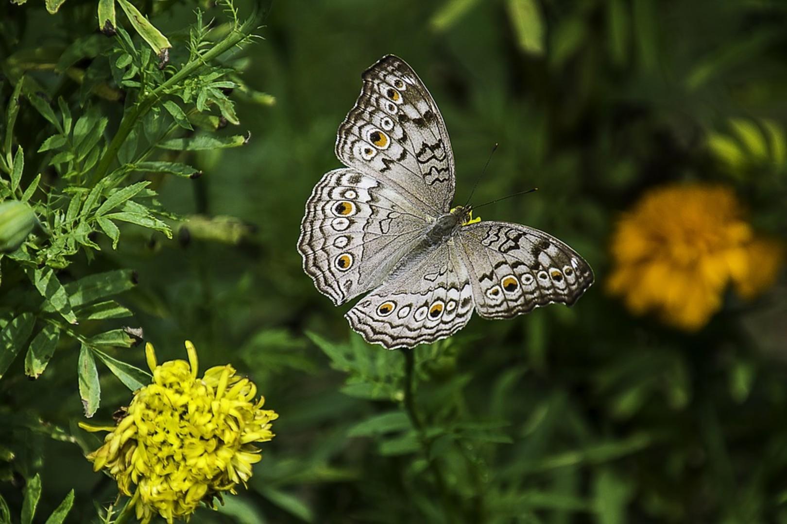 butterfly-1644189_960_720.jpg