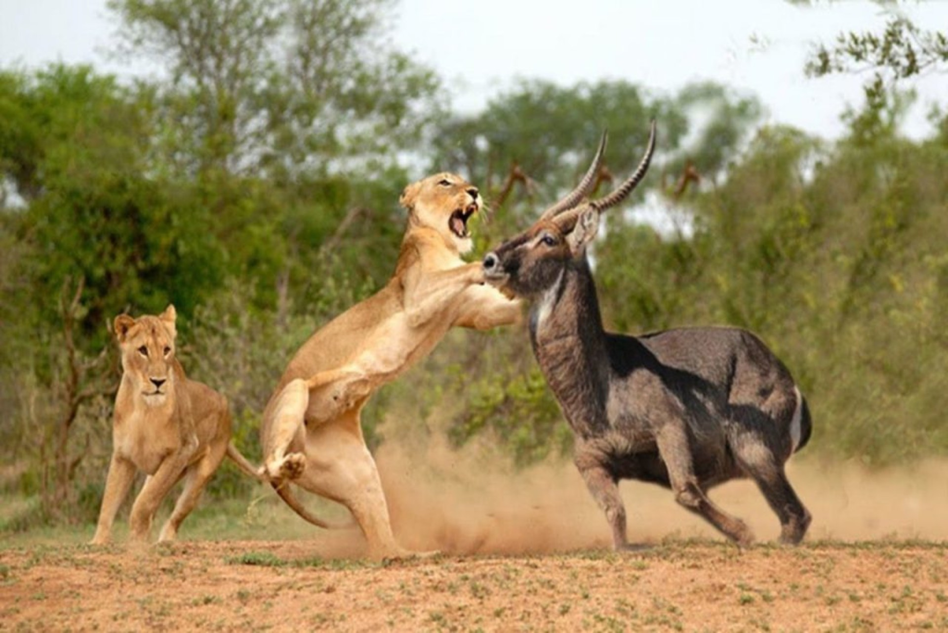 Masai-Mara-National-Park-lion.jpg